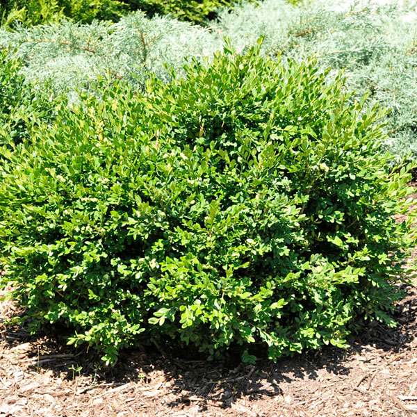 Small-leaved Boxwood (Buxus microphylla)