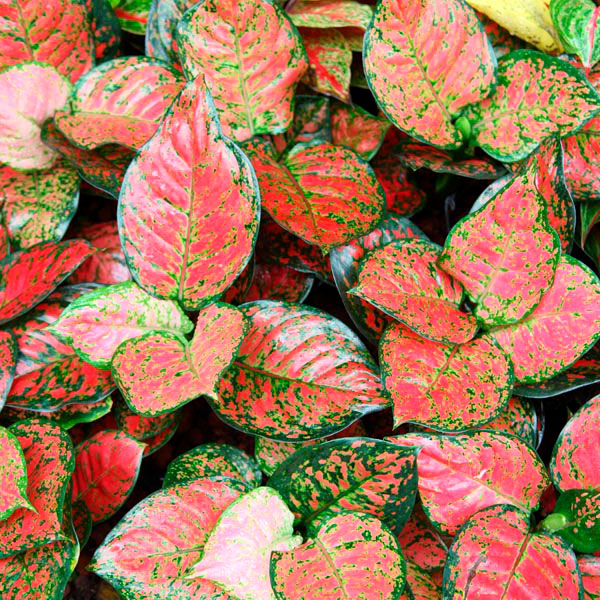 6588_42 Red Vining Houseplants on flowers red, orchids red, pots red, ornamental grasses red, peppers red, design red, nature red, cactus red, berries red, mums red, animals red,