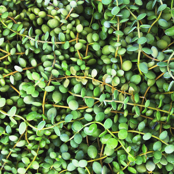 string of coins plant