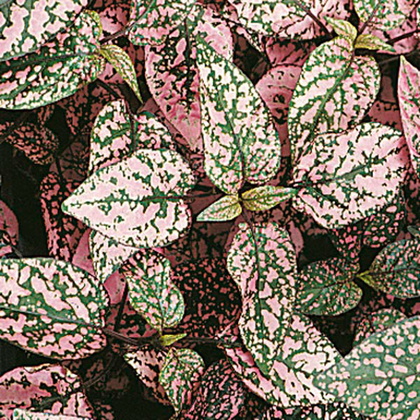 Polka-Dot Plant, Freckle Face (Hypoestes phyllostachya)