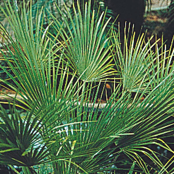 Windmill Palm, European Fan Palm (Chamaerops humilis)