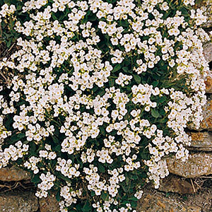 Alpine Rock Cress (Arabis caucasica)