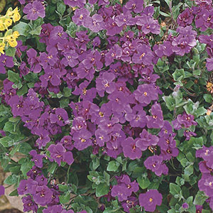 Aubrieta, Purple Rock Cress (Aubrieta deltoidea)