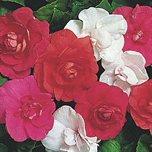 Double Impatiens (Impatiens walleriana)