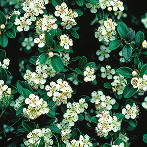 Bearberry (Cotoneaster dammeri)