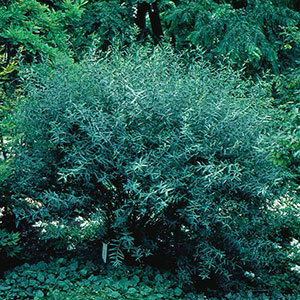 Arctic Willow, Purpleosier Willow (Salix purpurea)