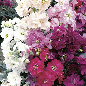 Stock, Gilly Flower (Matthiola incana)