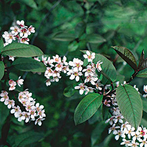 Mayday Tree, Bird Cherry, Hackberry (Prunus padus)
