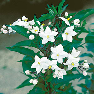 Star of Bethlehem, White Potato Vine (Solanum jasminoides)