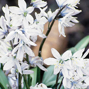 Striped Squill, Snowdrift, Early Stardrift (Puschkinia libanotica)