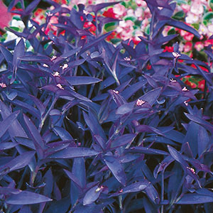 Purple Heart, Purple Queen, Wandering Jew (Setcreasea purpurea)