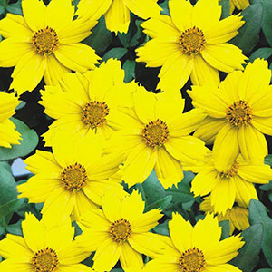 Coreopsis (Coreopsis auriculata)