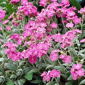 Campion, Flower of Jove (Lychnis flos-jovis)