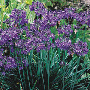 African Lily (Agapanthus Hybrid)