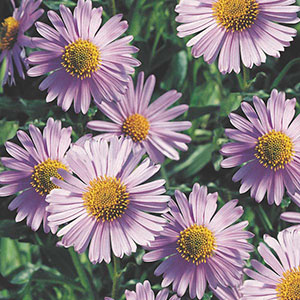 East Indies Aster (Aster tongolensis)