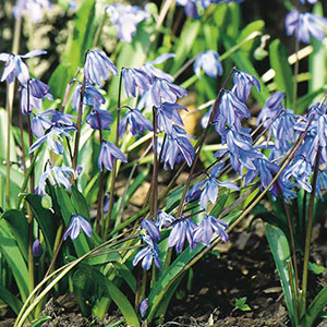 Siberian Squill, Wood Squill (Scilla siberica)
