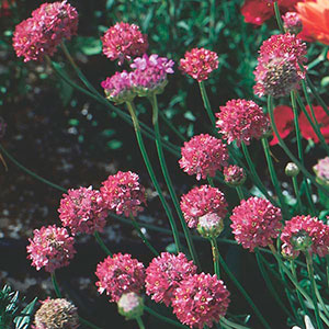 Thrift, Sea Pink 'Joystick Mix' (Armeria pseudarmeria)