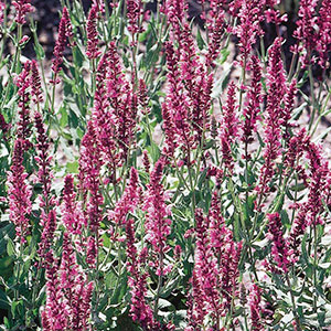 Meadow Sage (Salvia x superba)