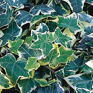 Variegated English Ivy 'Gold Child' (Hedera helix)
