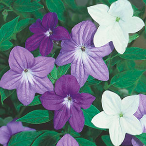 Browallia, Bush Violet