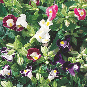 Wishbone Flower, Clown Flower (Torenia fournieri)