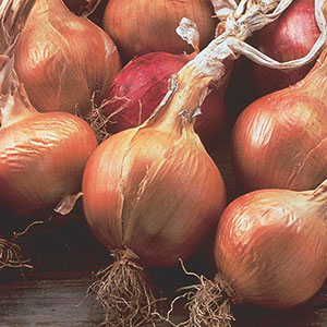 Onion (Allium cepa)