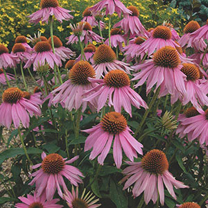 Common Purple Coneflower