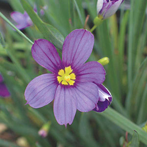 Blue-Eyed Grass (Sisyrinchium bermudiana)