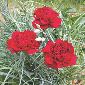 Carnation Indoors (Dianthus caryophyllus)