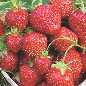 Strawberry (Fragaria Hybrid)