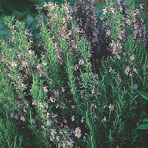 Upright Rosemary (Rosmarinus officinalis)