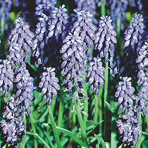 Muscari, Grape Hyacinth