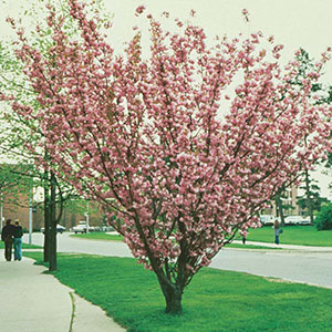 Ornamental Flowering Cherry, Japanese Flowering Cherry (Prunus serrulata)