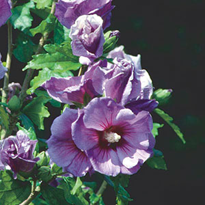 Rose of Sharon, Althea (Hibiscus syriacus)