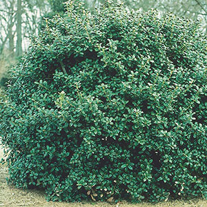 Dwarf Burford Holly 'Dwarf Burford' (Ilex cornuta)