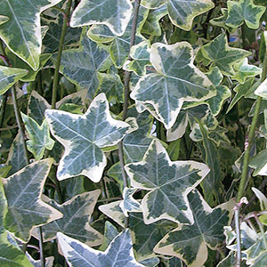 Variegated Ivy Indoors (Hedera helix)
