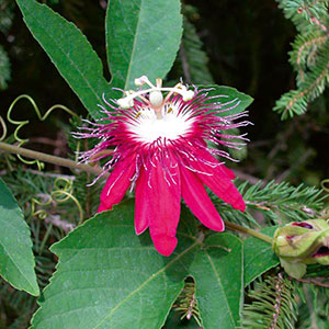 Passion Flower 'Lady Margaret' (Passiflora hybrid)