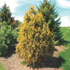 Golden Upright Arborvitae (Thuja occidentalis)