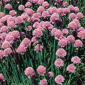 Chives, Onion Chives (Allium schoenoprasum)
