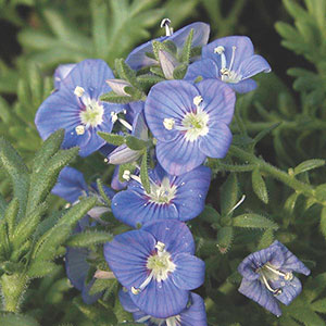 Whitley's Speedwell (Veronica whitleyi)