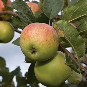 Apple 'Wolf River' (Malus pumila)
