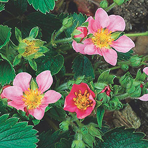 Ornamental Strawberry (Fragaria Hybrid)