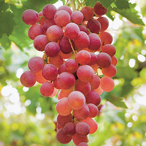 Fox Grape 'Catawba' (Vitis labrusca)