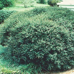 Dwarf Yaupon Holly 'Nana' (Ilex vomitoria)