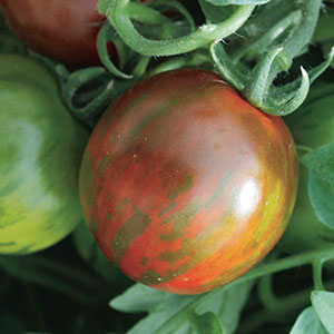 Tomato 'Rambling Red Stripe' (Lycopersicon esculentum)