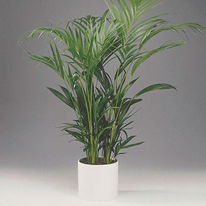 Areca Palm, Golden Cane Palm Indoors (Dypsis lutescens)