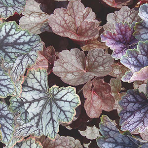 Coral Bells 'Colors' (Heuchera hybrid)