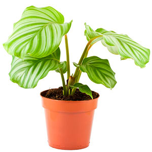 Calathea, Prayer Plant