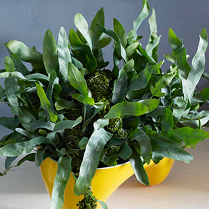 Blue Star Fern, Gold Foot Fern (Phlebodium aureum)