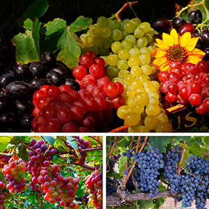 Grape, Fox Grape, Concord Grape (Vitis labrusca)